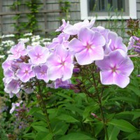 Photo Thumbnail #21: 'Eva Cullum' phlox -- just one of several types...