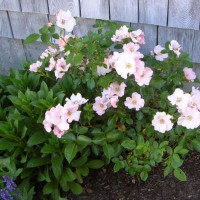 Photo Thumbnail #13: A hardy little shrub rose called 'Cape Cod.'