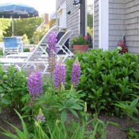 Photo Thumbnail #20: These lupine pop up in unexpected places each...