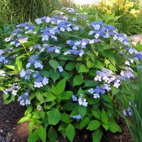 Photo Thumbnail #5: A lacecap hydrangea called 'Blue Wave' --...