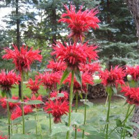Photo Thumbnail #15: Monarda - the one in the front is a double,...