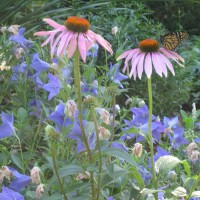 Photo Thumbnail #18: Echinacea with Monarch Butterfly.