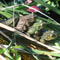 Photo Thumbnail #5: Leapfrog!