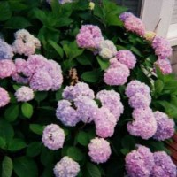 Photo Thumbnail #2: Hydrangeas by our front door.