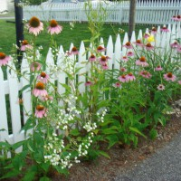 Photo Thumbnail #8: Purple cone flowers by our white picket fence.