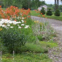 Photo Thumbnail #2: old fashioned daylilies and daisies along driveway