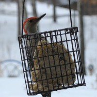 Photo Thumbnail #9: Woodpecker