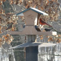 Photo Thumbnail #5: Female and Male Cardinal