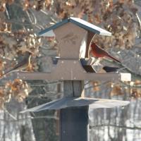 Photo Thumbnail #5: Female and Male Cardinal