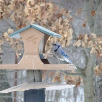Photo Thumbnail #8: Bluejay, notice the squirrel and racoon baffle....