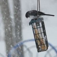 Photo Thumbnail #2: Junco, we call them Snowbirds. They migrate as...