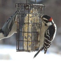 Photo Thumbnail #1: Nuthatch and Downy Woodpecker   Come and visit...