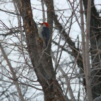 Photo Thumbnail #7: Woodpecker