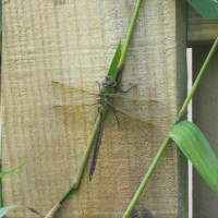 Photo Thumbnail #27: Dragonfly on my bamboo;