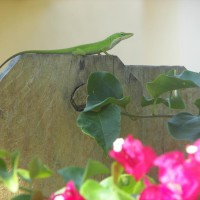 Photo Thumbnail #24: Another shot of our resident chameleon;