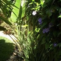 Photo Thumbnail #12: Blue Sky Vine I planted on the fence.