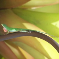 Photo Thumbnail #23: Resident green anole on my landscape light;