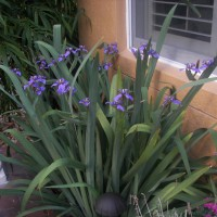 Photo Thumbnail #17: My Purple Walking Iris;  Sometimes it has 60...