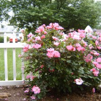 Photo Thumbnail #3: This is a Knock Out rose. While not having a...