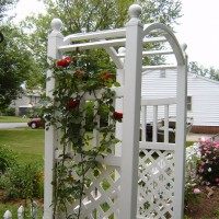 Photo Thumbnail #1: Don Juan climbing rose was only planted 2 years...