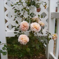 Photo Thumbnail #2: David Austin is an English rose grower. His...