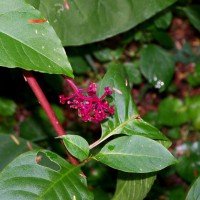 Photo Thumbnail #6: Colorful Pokeweed