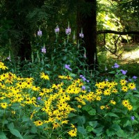 Photo Thumbnail #2: Colorful corner - black-eyed susans, ageratum,...