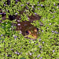 Photo Thumbnail #27: Frog with pondweed