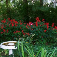 Photo Thumbnail #13: Salvias in early October