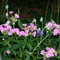 Photo Thumbnail #8: Hummingbird Moth in Phlox