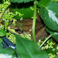 Photo Thumbnail #9: Frog with pondweed and lamium