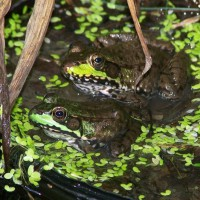 Photo Thumbnail #21: Two frogs in a pot
