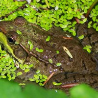 Photo Thumbnail #25: Frog in pondweed
