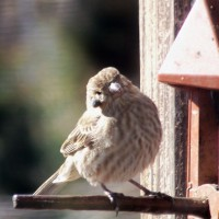 Photo Thumbnail #7: One of our visting birds..poor thing has a tick...