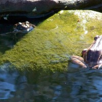 Photo Thumbnail #9: We have a few frogs who live in our pond year...