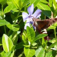 Photo Thumbnail #15: Spring Moth on Periwinkles.