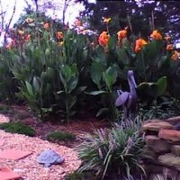 Photo Thumbnail #1: Fall Cannas 2008