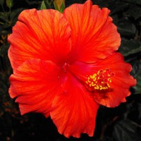 Photo Thumbnail #22: HIBISCUS AT NIGHT