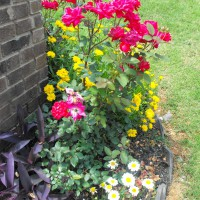 Photo Thumbnail #27: KNOCKOUT ROSES,COREOPSIS,PURPLE HEART,SHASTA DAISY