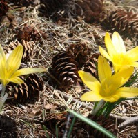 Photo Thumbnail #11: crocus  This year the bunnies did not eat them....