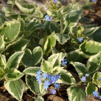 Photo Thumbnail #9: Varigated Brunnera