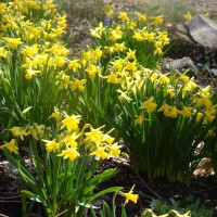 Photo Thumbnail #8: tete daffodils