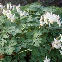 Photo Thumbnail #3: Native wildflower, Dutchman's Breeches