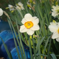 Photo Thumbnail #12: In between the daffodils are my BLUE bowling...