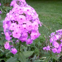 Photo Thumbnail #8: Pink Garden Phlox. Start was given to me 20...