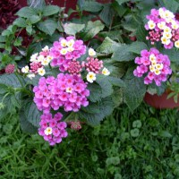 Photo Thumbnail #3: Lantana in planter.