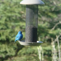 Photo Thumbnail #2: Indigo Bunting