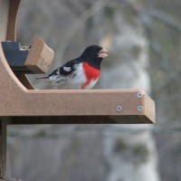 Photo Thumbnail #1: Rosebreasted Grosbeak