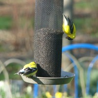 Photo Thumbnail #5: Goldfinch