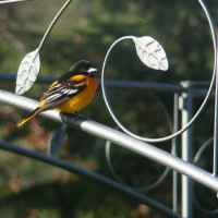 Photo Thumbnail #3: Baltimore Oriole